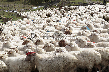georgia mtskheta juta a herd of