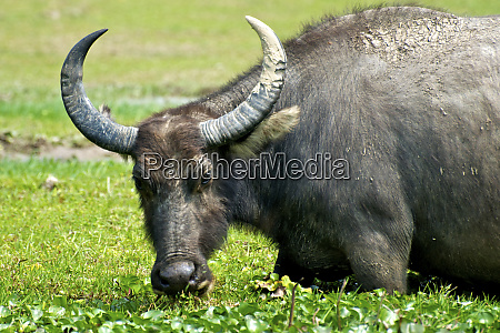 a feral water buffalo grazes in