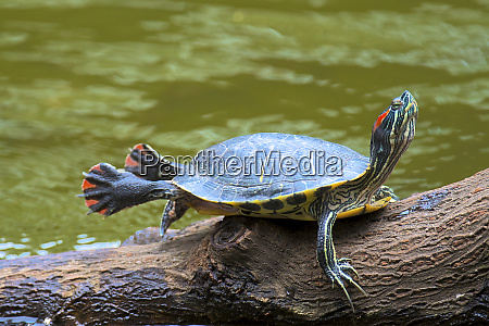 hong kong a painted turtle stretches