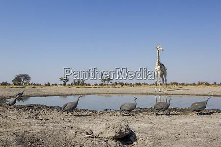 africa botswana chobe national park flock