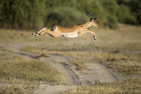africa botswana chobe national park impala