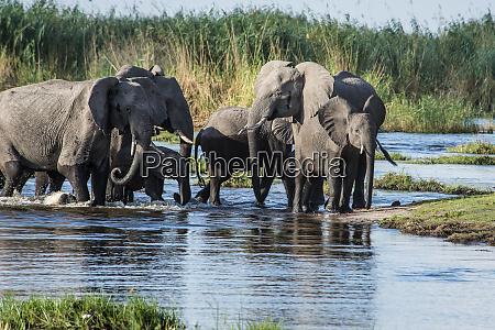 elephant herd with young crossing okavango