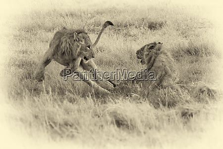 young lions leaping and playing in