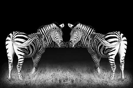 black and white mirrored zebras large