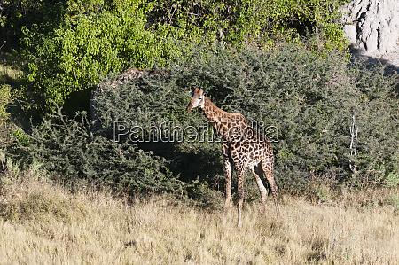 aerial view of southern giraffe giraffa