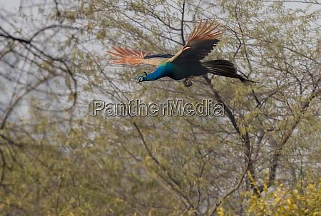 peacock in flight keoladeo ghana national