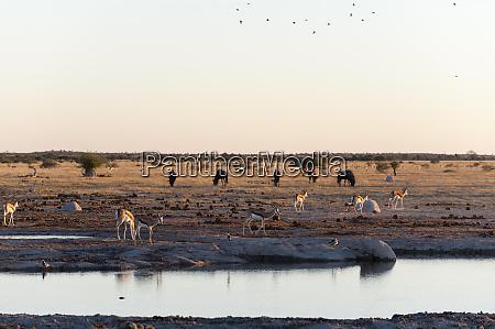 springbok antidorcas marsupialis at waterhole nxai