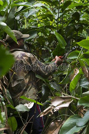 clipping marantaceae vegetation for gorilla trekking