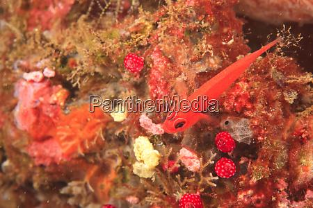 goby tulamben north bali indonesia