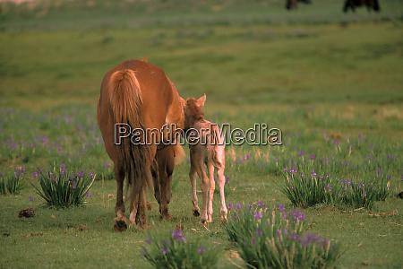 asia mongolia gobi desert wild horses