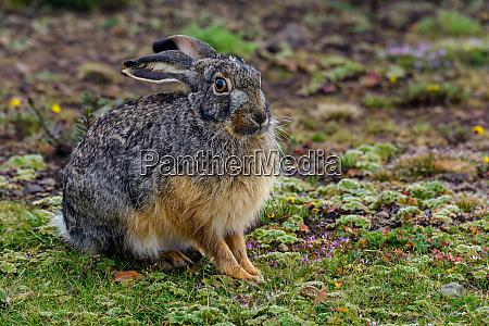 starcks hare lepus starcki bale mountains