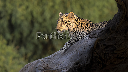 africa kenya leopard resting on dead