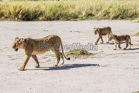 africa kenya amboseli national park lioness