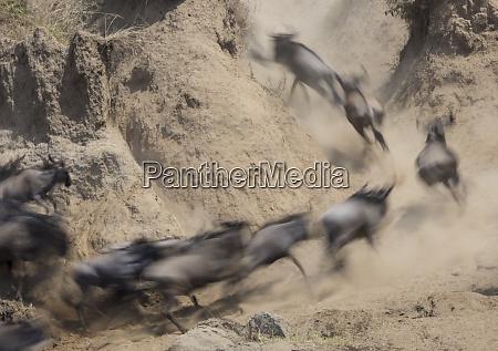 africa kenya wildebeests running up hill