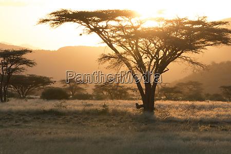 africa kenya samburu national reserve savanna