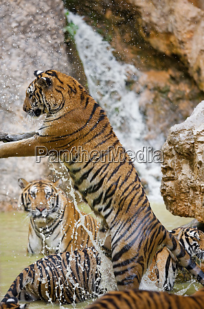 leaping tiger indochinese tiger or corbetts