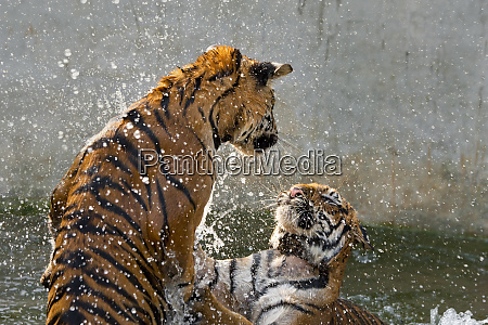 tigers playing in water indochinese tiger