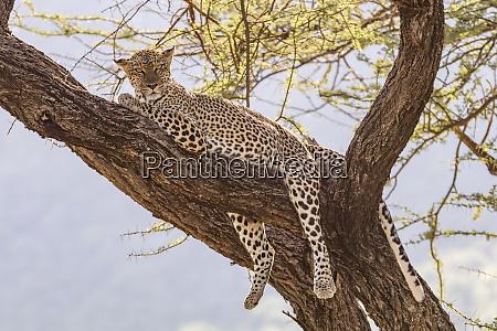 africa kenya samburu national reserve african