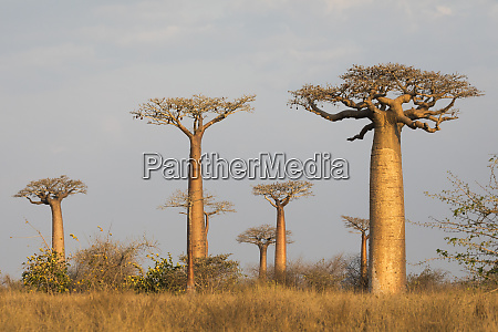africa madagascar morondava baobab alley grendidiers