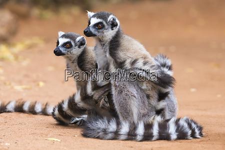 africa madagascar amboasary berenty reserve a