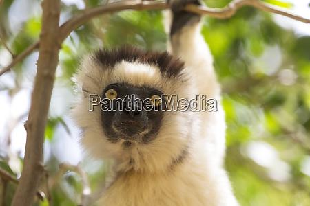 africa madagascar berenty reserve headshot of