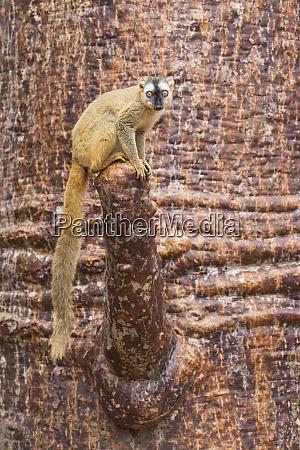 africa madagascar kirindy forest portrait of