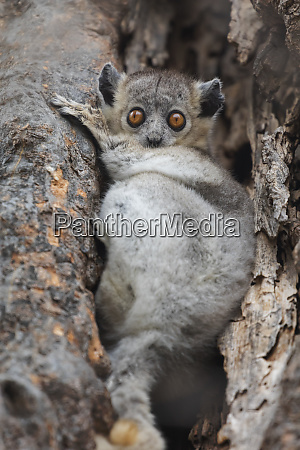 africa madagascar berenty reserve white footed