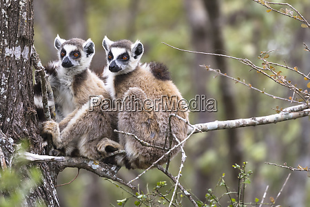 africa madagascar amboasary berenty reserve two