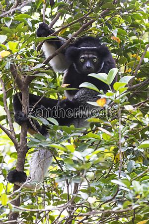 africa madagascar akaninny nofy reserve indri