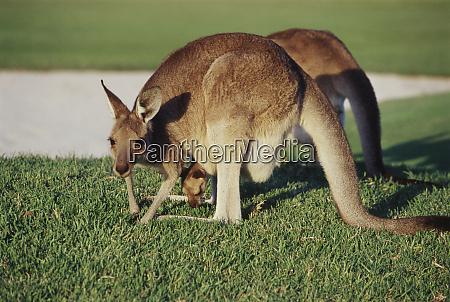 australia eastern grey kangaroos at yamba