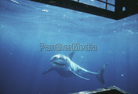 south australia great white shark carcharodon