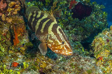 northern bahamas caribbean nassau grouper