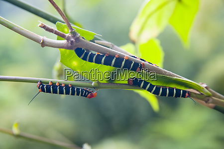 martinique french antilles west indies caterpillers