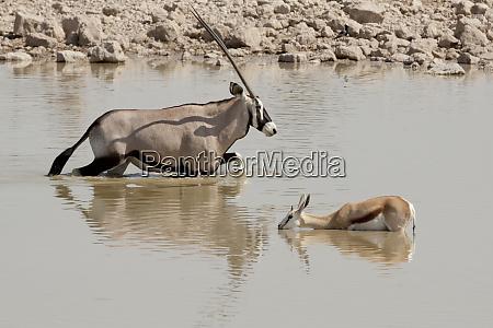 africa namibia etosha national park oryx