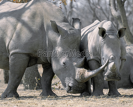 africa namibia white rhino mother and