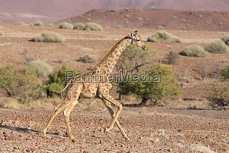 africa namibia palmwag running giraffe credit