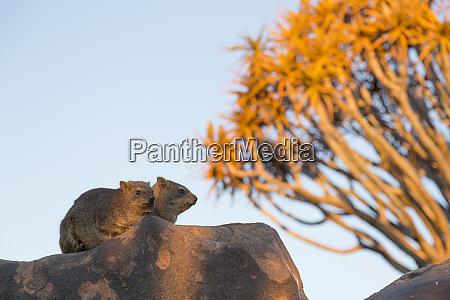 africa namibia keetmanshoop two rock hyrax