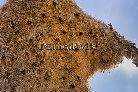 africa namibia sociable weavers nest with
