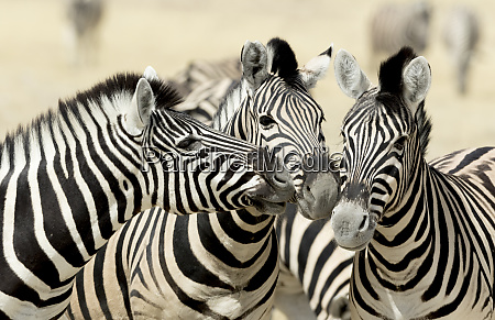africa namibia etosha national park three