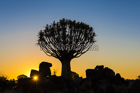 africa namibia sunset on quiver tree