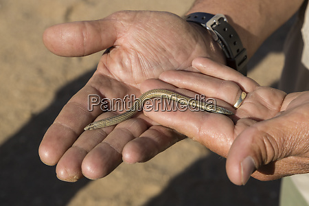 man holds a fitzsimons burrowing skink