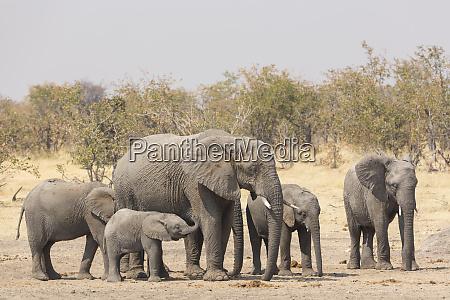 family of african elephants loxodonta africana