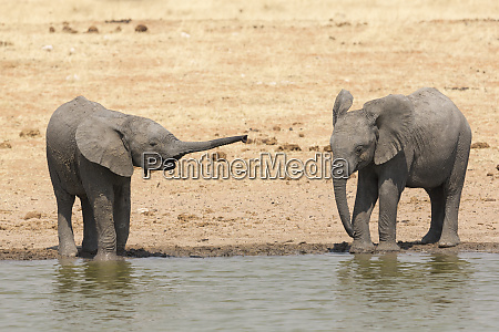 young elephant stretches out its trunk