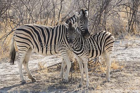 mother zebra equus quagga burchellii