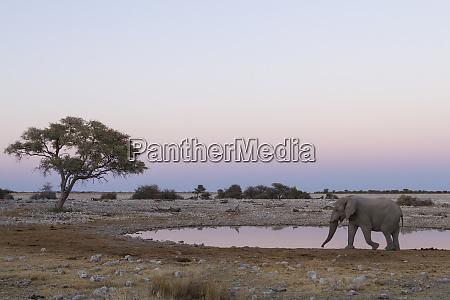 lone elephant loxodonta africana africana walking