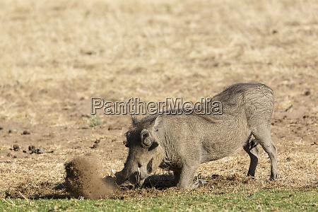 warthog phacochoerus africanus digs for food