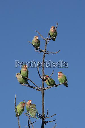 african lovebirds agapornis rosecolis socialize while