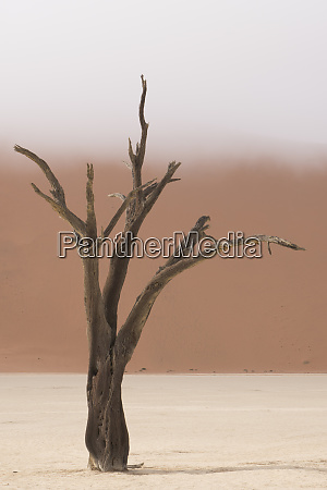 ancient dead camelthorn acacia trees in