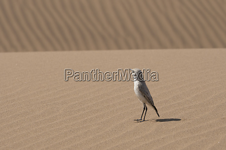 tractrac chat emarginata tractrac bird stands