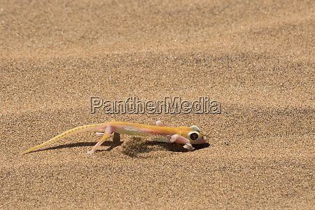 colorful web footed or palmatogecko gecko